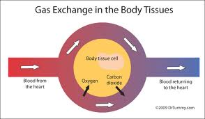 gas exchange in blood and tissue
