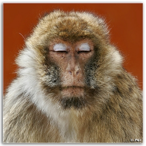 monkeymeditate-300x300