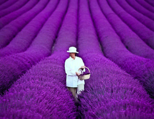 Frield of lavender