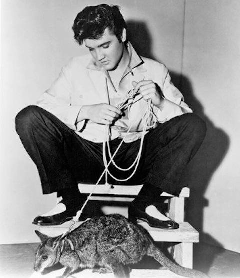 Elvis wallaby