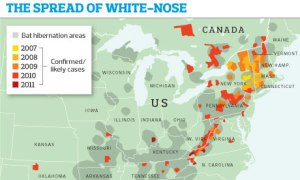 white-nose syndrome in the US