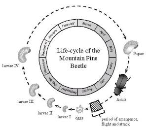 Pine Beetle Life Cycle