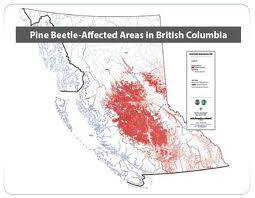 Pine Beetles in BC