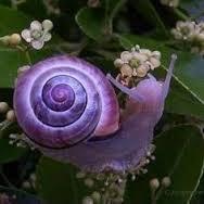 Lavender Aussie Snail