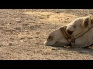 camel comment
