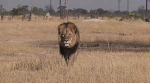 cecil-lion-zimbabwe