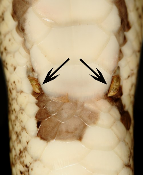 Hindlimbs ('spurs') of a ball python (Python regius). The spurs are next to the anal scale, which covers the vent of the cloaca. (Front of snake is toward top of photo.)