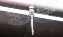 dragonfly gutter