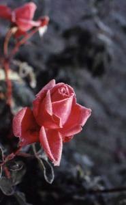 Winter roses 2002 Nina Tryggvasonjpg