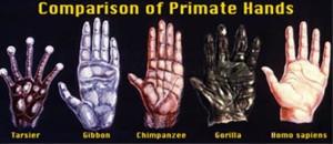 comparison-primate-hands