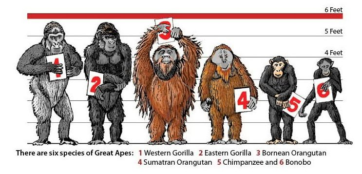 similarities between chimps and orangutans When and where did humans split from the apes to become a separate  closer  to our african kin than our east asian ape cousins, the orangutan  of the  nascent field of molecular biology were beginning to compare blood.