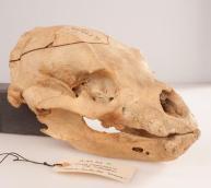 winnie-the-pooh-skull