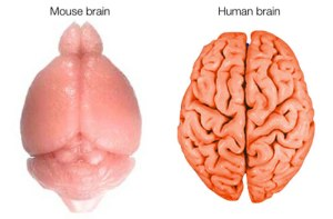 human-brain-wrinkles-670